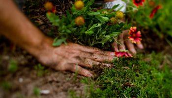 Dłonie sadzące kwiaty